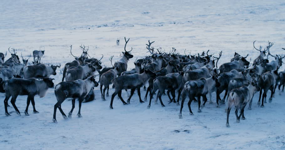 Aerial view of herd of reindeer, which ran on snow in tundra. Red Epic. Slow motion. 4k | Shutterstock HD Video #30998845