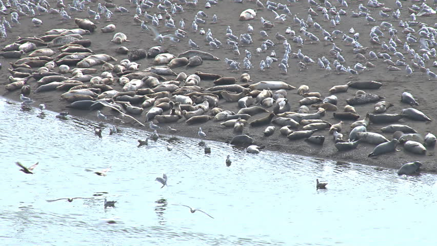 Sea gulls and harbor seals on a sand bar haul out at the mouth of the Russian