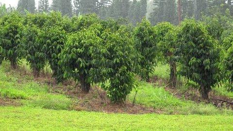 Coffee plantation (Coffea arabica) in the heavy rain. Kona District, Hawaii, USA