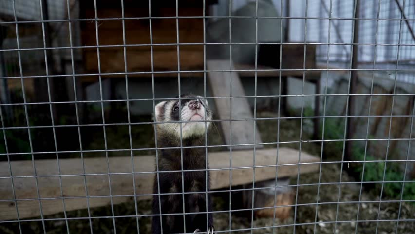 European polecat standing on paws in cage close up. Ferret in cage looking in camera. Breeding fur animals. Mustela putorius