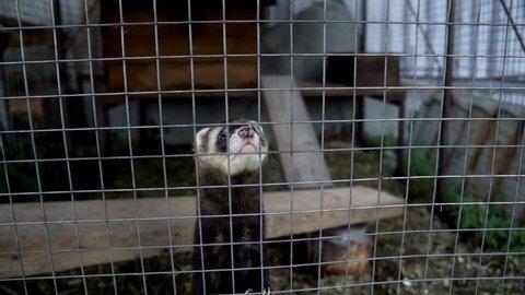 European polecat standing on paws in cage close up. Ferret in cage looking in camera. Breeding fur animals. Mustela putorius