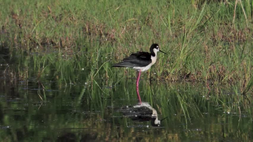 A Black-necked Stilt preening in a pond of the Bosque del Apache Wildlife Refuge, New Mexico.
