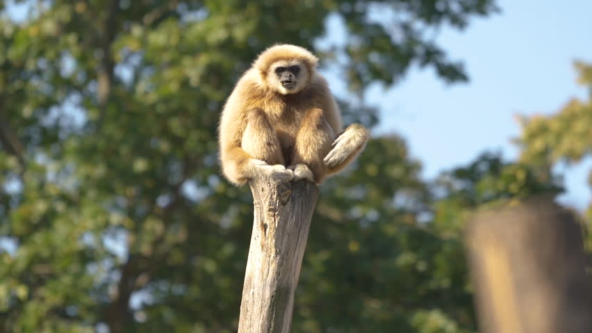 animal cinemagraph funny gibbon ape sitting on tree trunk shaking and moving arms loop