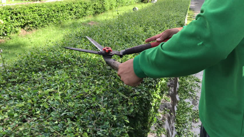 Hands of gardener cutting green dwarf hedge plant in the garden with grass pruning scissor shears