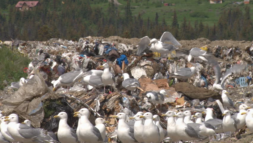 Garbage and seagulls