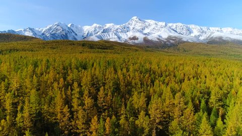 Aerial above larch forest and snowy peak in autumn