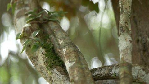 Liana of Ayahuasca. Banisteriopsis caap vine. Ayahuasca  or yagé  is an entheogenic brew made out of Banisteriopsis caapi vine and other ingredients.