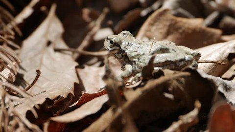 Japanese tree frog - Hyla japonica - is on fallen leaves in Nagano prefecture, JAPAN.