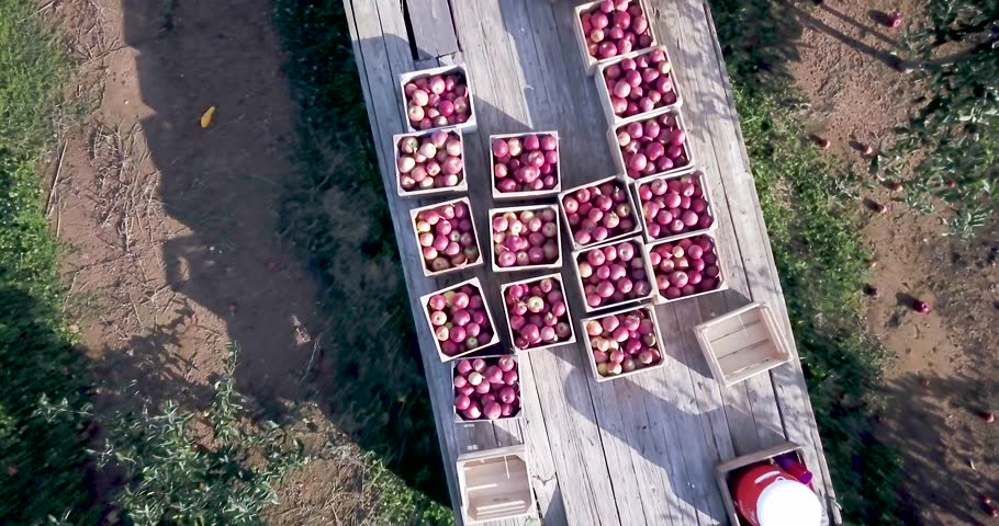 Camera is close on bins of apples and then rises straight up into the air revealing the tractor and another tractor with two bins of apples in an apple orchard at sunrise.
