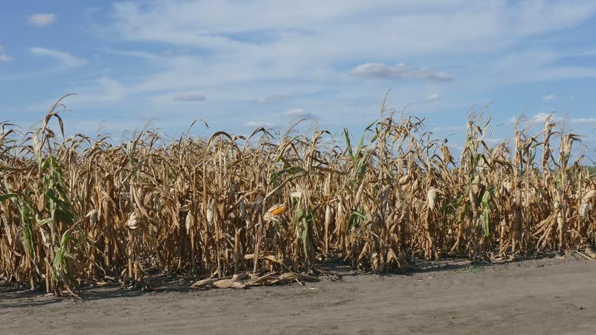 Как сажают кукурузу в поле 355