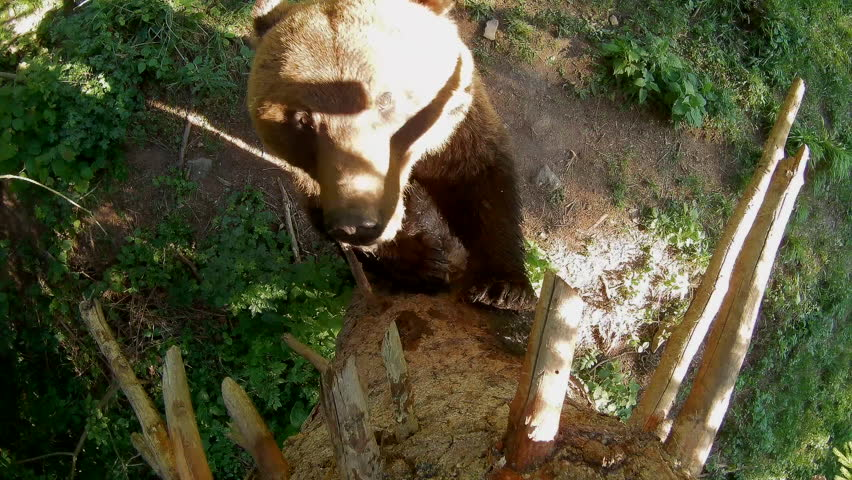 European brown bear, hidden camera