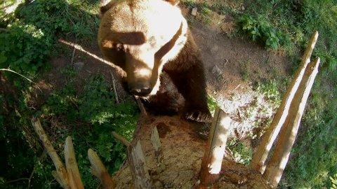 European brown bear, hidden camera