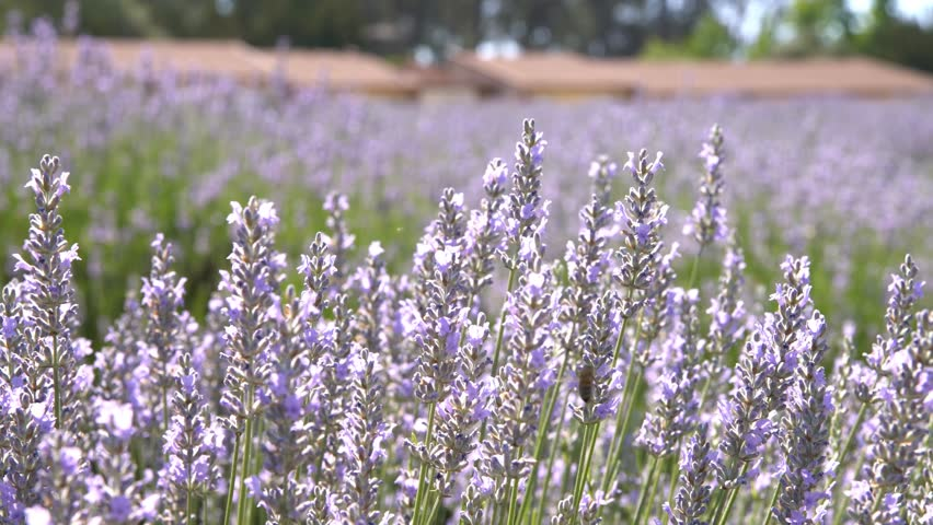 Beautiful purple lavender blossom of Lavender Festival of 123 Farm at San Bernardino, Los Angeles County, United States