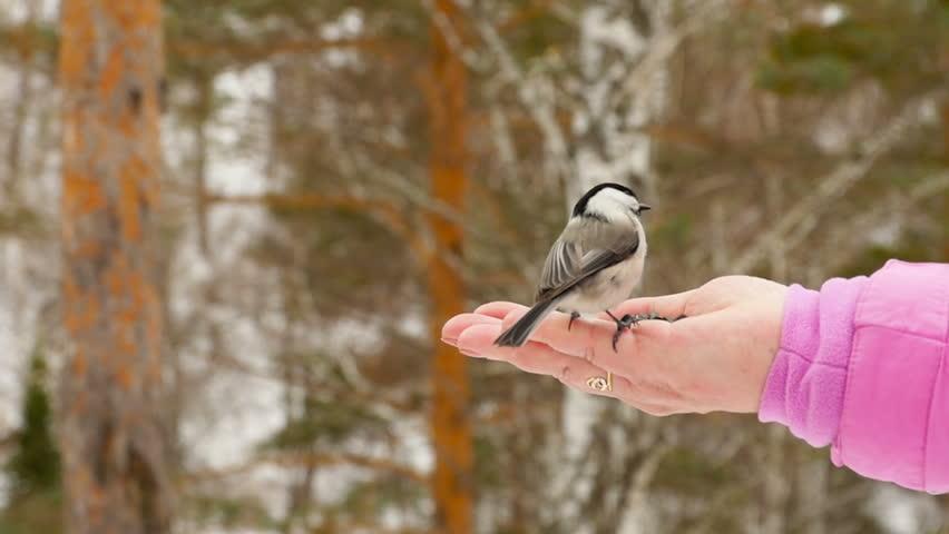 Titmouse bird in women's hand eat seeds, winter, slow motion