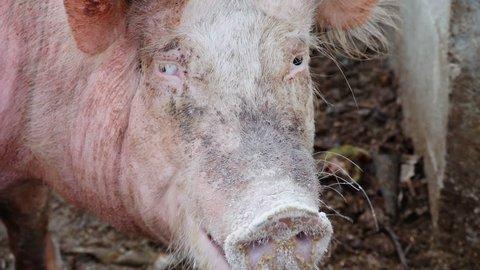 fat pig looking at camera