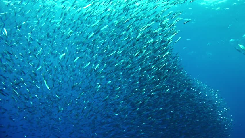 Shoal of small fishes swimming