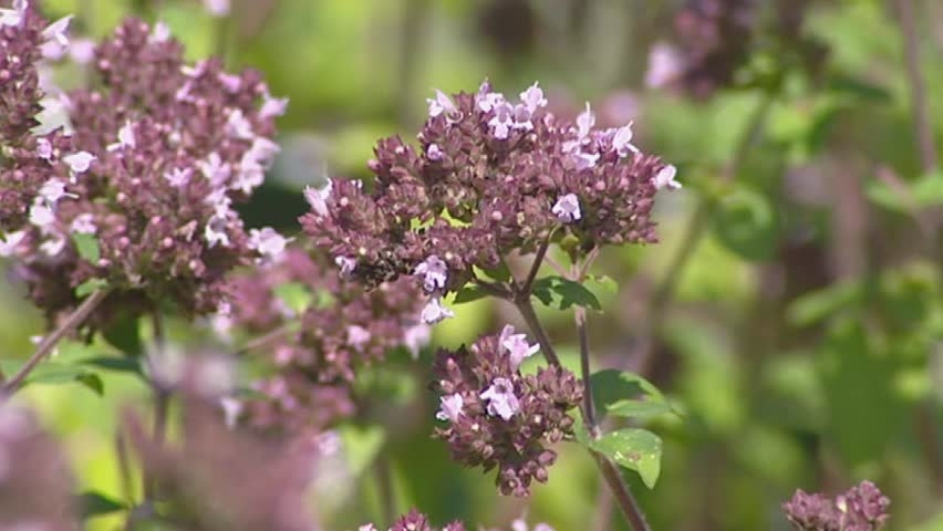 Origanum vulgare - close up. Oregano or Wild Marjoram is an important culinary herb, used for the flavor of its leaves