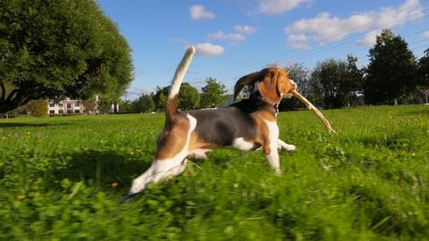 Happy young dog run at green grass with stick, bouncy rush away, POV camera follow behind. Sunny pet tease chaser by wooden branch. Happiness and carefree concept. Funny long ears fly in air