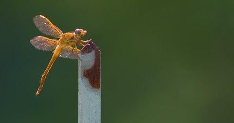 Yellow dragonfly, possibly Libellula needhami, perched on metal post, moves with breeze, rotates head.
