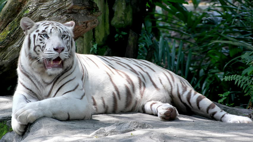 Majestic White Tiger Lying On Stock Footage Video (100% Royalty-free)  31443688 | Shutterstock