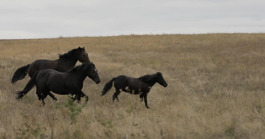 Wild brown horses on the field running gallop | Shutterstock HD Video #31472848
