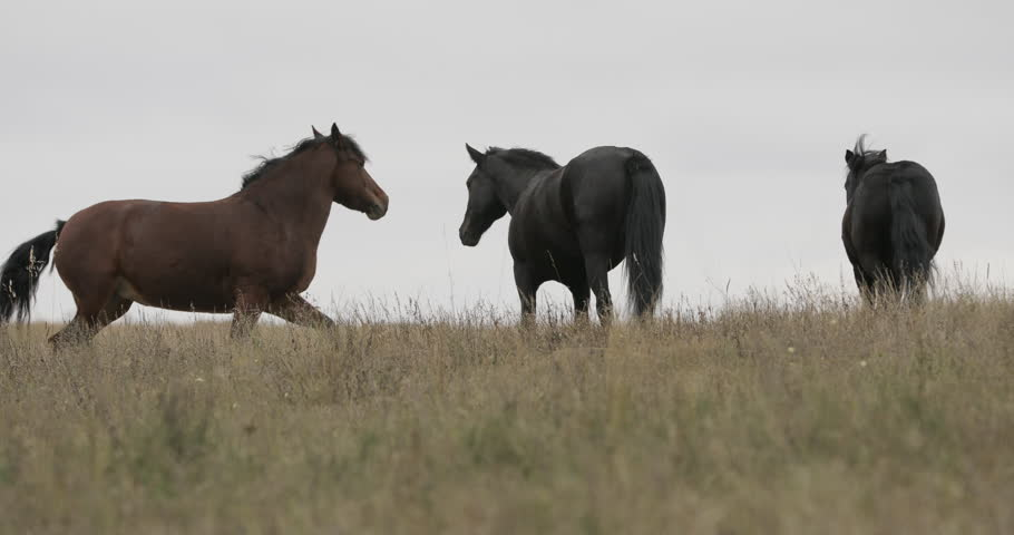 Wild brown horses on the field running gallop | Shutterstock HD Video #31474771