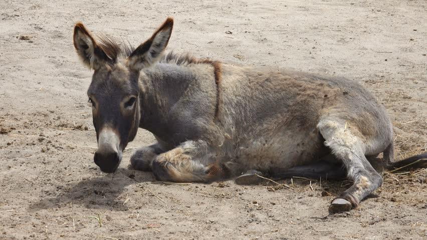 Header of burro