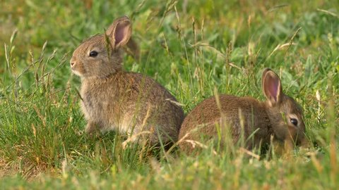 Wild european rabbit (Oryctolagus cuniculus) in meadow