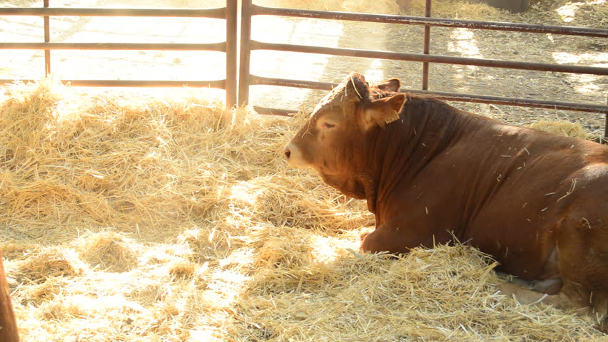 Ox, calf or cow eating in a barn with straw in a cattle fair