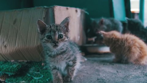 Little gray and white Stray kitten looks into the camera. Slow Motion in 96 fps. Fluffy homeless kittens are walking on the street.