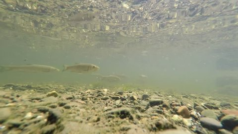 fish in the river underwater view