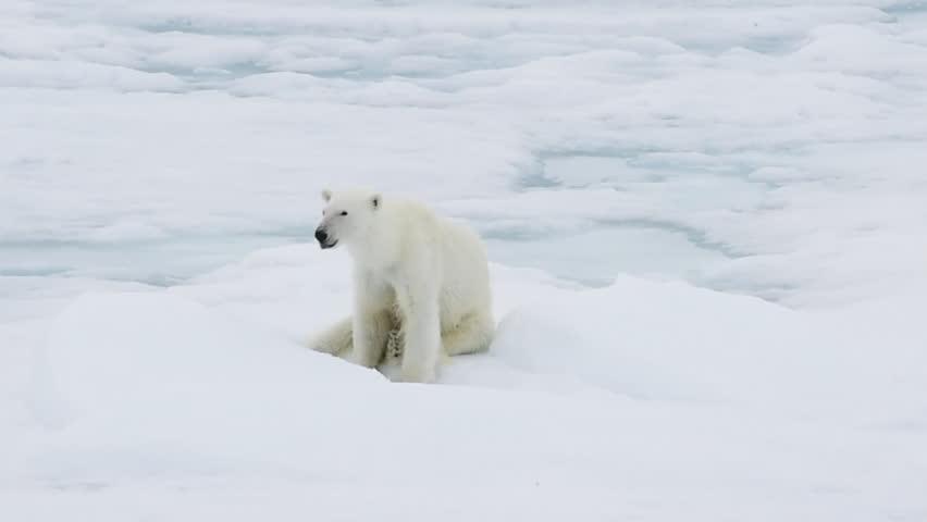 Polar bear walking in an arctic. | Shutterstock HD Video #31579198