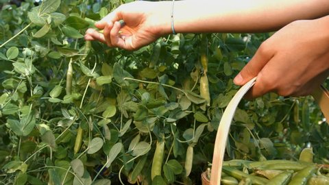 A Peas harvesting. Slow motion. Horizontal pan. The smooth movement of the camera ( from left to right ) along the bush with a growing peas. A female hand tear off peas and put his in a basket.