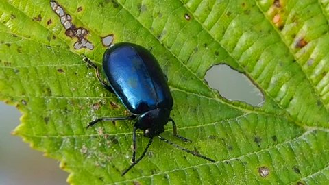 Beetle a pest of plants in the gardens. The alder leaf beetle or a bat alder - insect of alder in all stages of development. The beetle is shiny blue or purple.