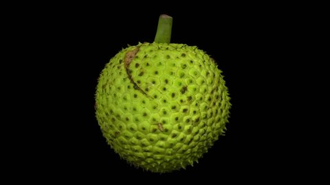 Realistic render of a rotating breadfruit on black background. The video is seamlessly looping, and the object is 3D scanned from a real fruit.