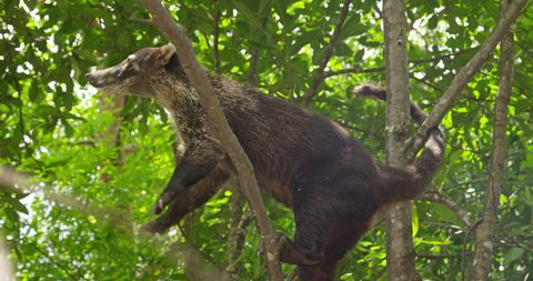 Nasua, coati on a branch catches food. wild animal, Costa Rica. RED cinema camera. Animal scratches the belly,