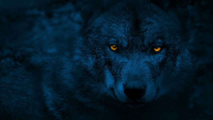 Wolf Looking Around With Glowing Eyes At Night