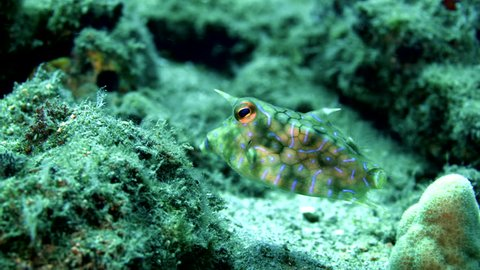 A thornback cowfish, Lactoria fornasini, a type of venomous boxfish, swims around over a sandy rocky reef in the warm tropical ocean.
