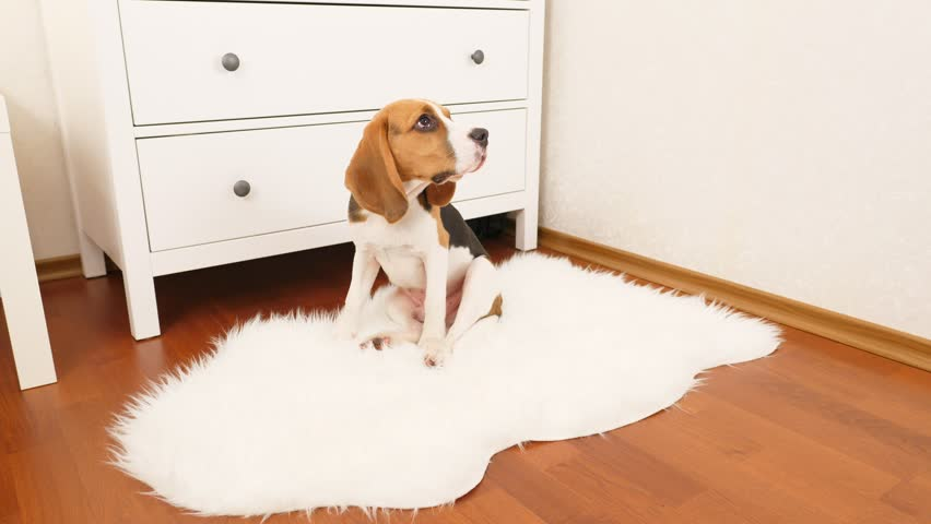 Young beagle sit on white wooly mat, look, listen and sniff around. Cute dog with serious muzzle seems to be disappointed, turn head left and right, try to understand what to do