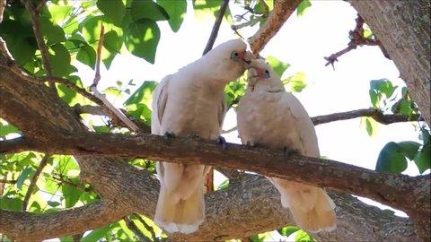 The couple Tanimbar corella cockatoo birds with the romantic moment on the tree at Brighton-Le-Sands park, Sydney, Australia.