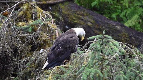 A beautiful adult bald eagle on a branch watching for bears to leave behind salmon carcass.