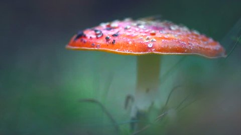 Fly agaric, Amanita muscaria, inedible mushroom in the grass in a forest. White-dotted red mushroom closeup.  Bright red mushroom growing macro close-up video of Amanita in nature. 4K UHD video