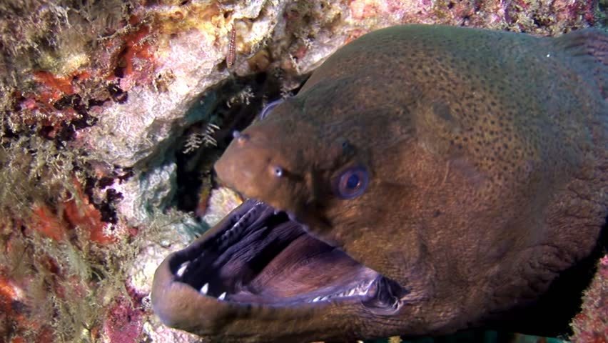 Moray eel dangerous underwater on seabed in Maldives. Unique amazing video footage. Abyssal relax diving. Natural aquarium of sea and ocean. Beautiful animals.