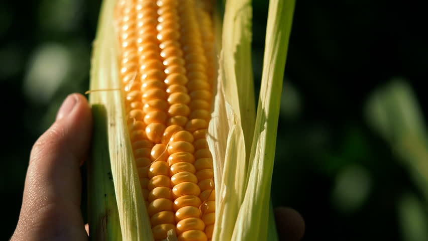 Corn Harvest. Farmers Work Corn Field. Agriculture Corn Farm Harvest. Golden Corn Growing. Ecological Farmer, Organic Horticulture, Producing Food And Crops, Organic Farming, Agricultural Land Area.