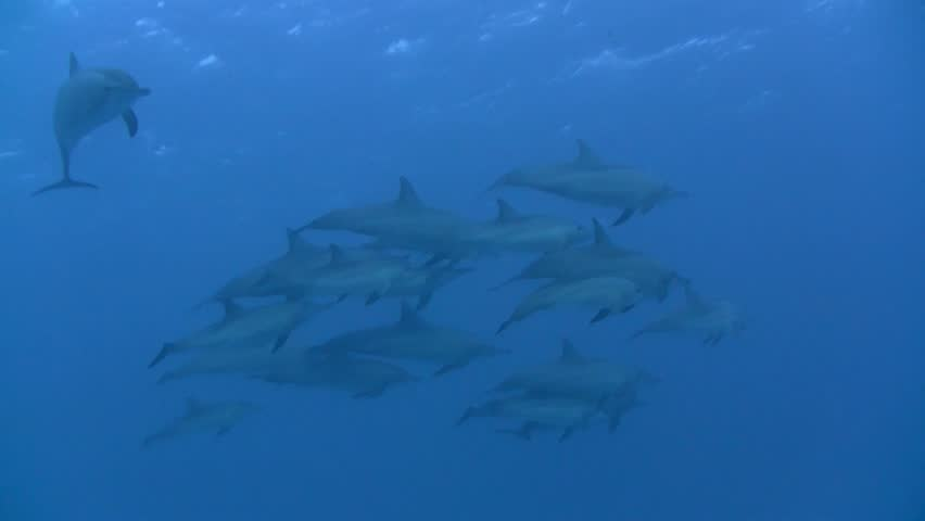 Dolphin shoal in the Red Sea, Egypt