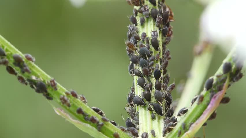 Close of ants feeding on aphid's honeydew