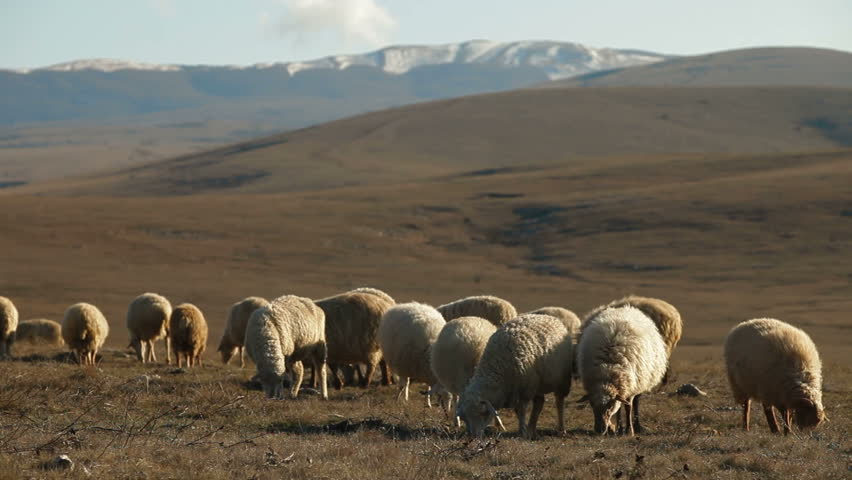 Flock Of Sheep Grazing On Crimean Mountain Plateau