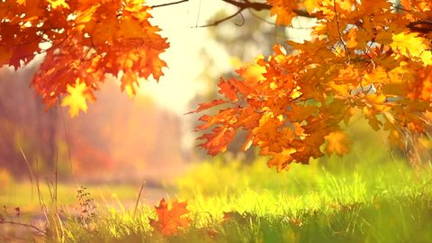 Autumn Landscape, Leaves swinging in a tree in autumnal Park. Fall. Autumn colorful park. Slow Motion Ultra high definition 3840X2160 4K UHD video footage