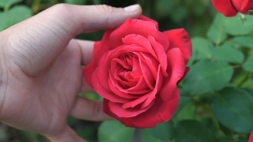 Selective focus of female hand touching red rose in garden | Shutterstock HD Video #32225008