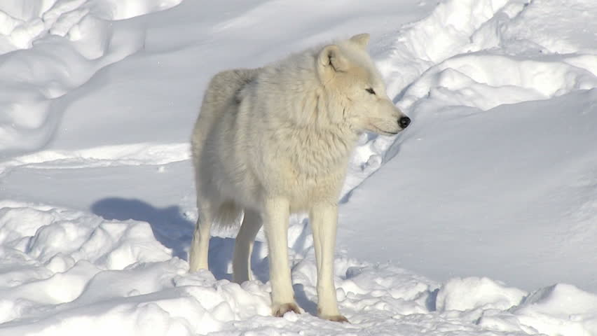 Arctic wolf with scars standing and looking at the camera